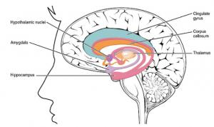 trazodone brain